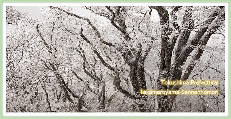 樹氷のブナ