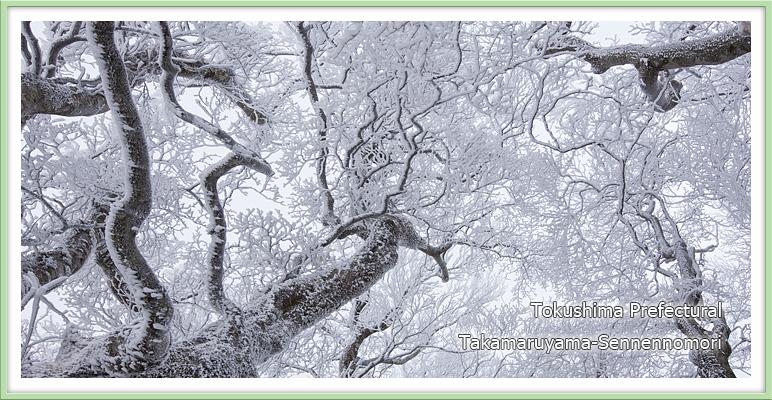 ブナの樹氷