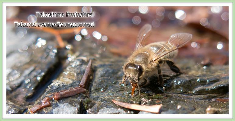 吸水する二ホンミツバチ