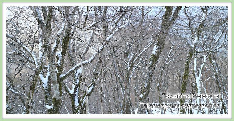 雪のブナ林