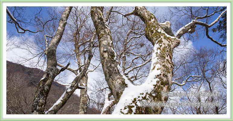雪の広葉樹